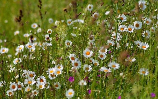 Фото обои лето, трава, ромашки, луг, колокольчики