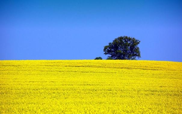 Фото обои поле, небо, природа, дерево, рапс