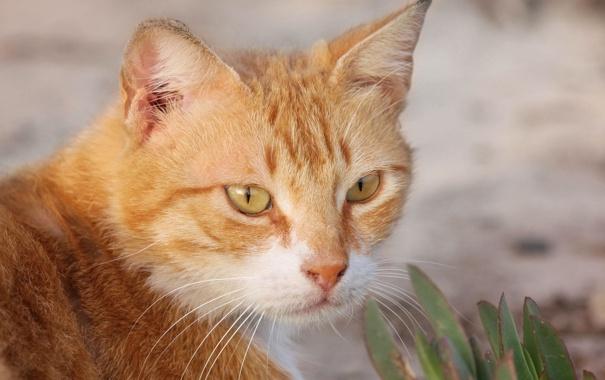 Фото обои кот, усы, рыжий, мордочка, смотрит