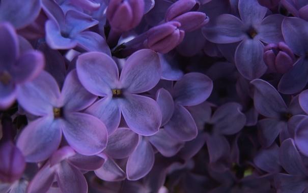 Фото обои фиолетовый, макро, сирень