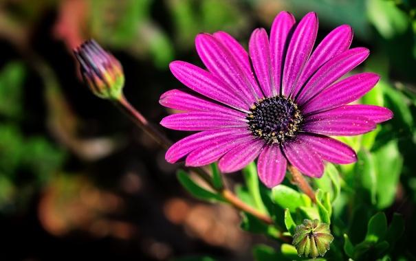 Фото обои стебель, цветок, лепестки, природа, бутон