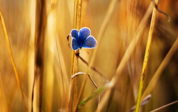Фото обои тростинки, травинки, трава, желтые, бабочка, синяя
