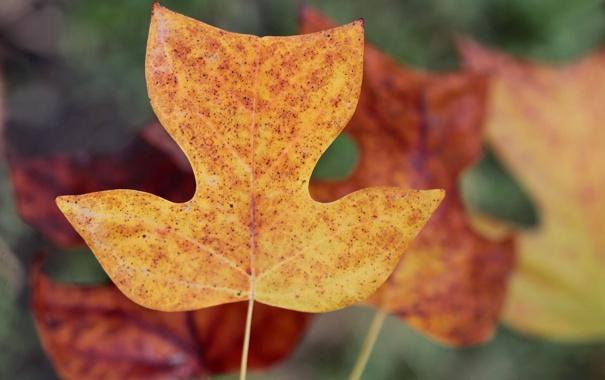Фото обои листья, осенние, лириодендрон тюльпановый, тюльпанное дерево