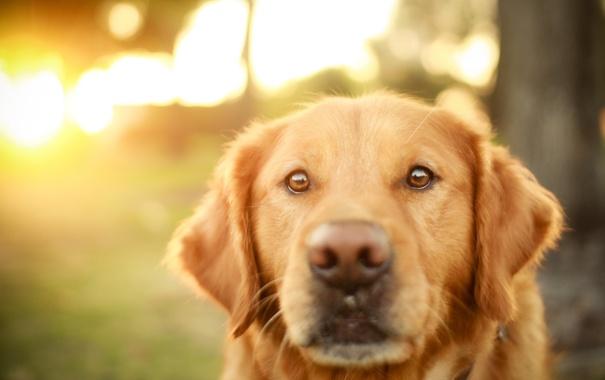 Фото обои ретривер, взгляд, собака