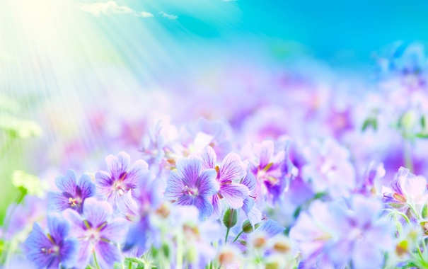 Фото обои фиолетовые, поле, лето