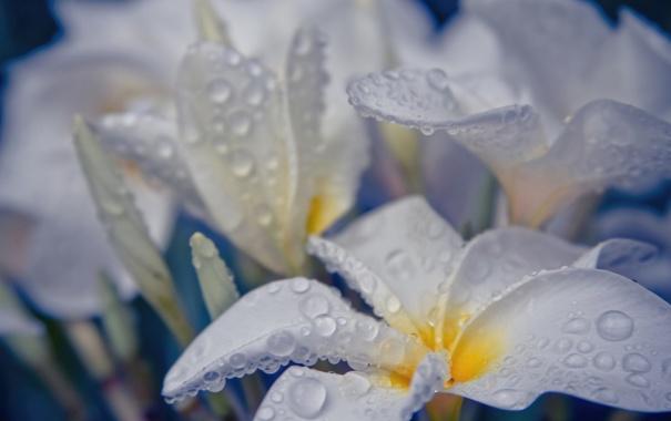Фото обои капли, белые, вода, цветы