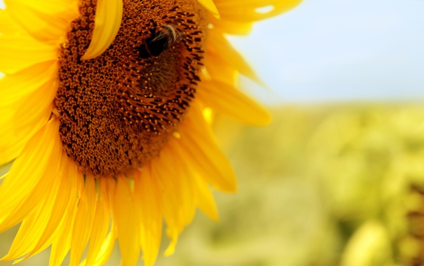 Фото обои желтый, подсолнух, пчелка