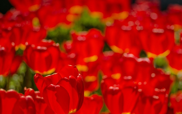 Фото обои природа, фон, тюльпан
