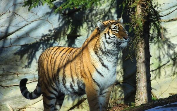 Фото обои тигр, хищник, амурский