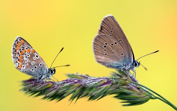 Фото обои трава, капли, бабочки, роса, две, растение, колосок