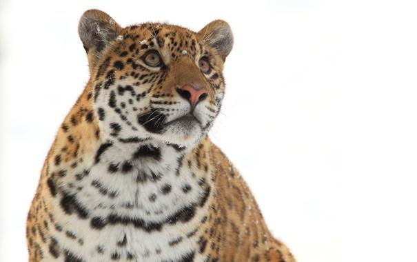 Фото обои зима, морда, хищник, ягуар, дикая кошка, взгляд вверх