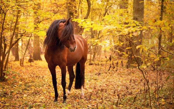 Фото обои осень, природа, конь