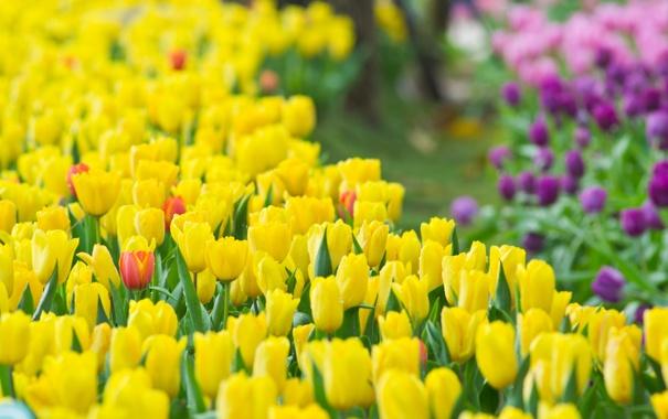 Фото обои цветы, весна, тюльпаны, бутоны, tulips