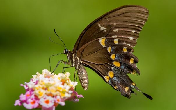 Фото обои цветок, узор, бабочка, растение, крылья, насекомое