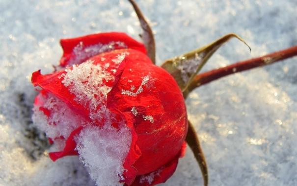 Фото обои роза, снег, красная, макро
