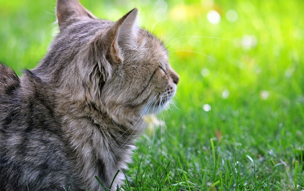 Фото обои зелень, кошка, трава, кот, газон, котэ, лежа