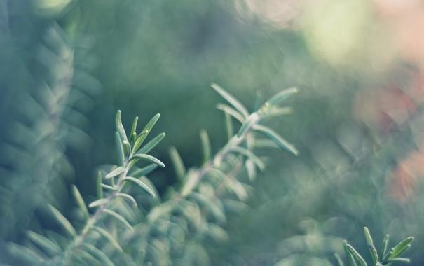 Фото обои bokeh, растение, plant, розмарин, rosemary, focus, 4928x3264
