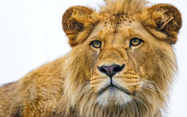 Фото обои морда, хищник, лев, крупным планом