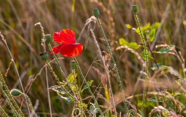 Фото обои лето, трава, макро, красный, мак, лепестки, луг
