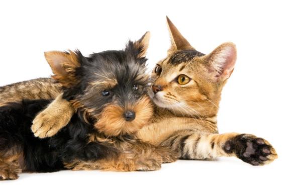 Фото обои кошка, кот, собака, лежат, терьер