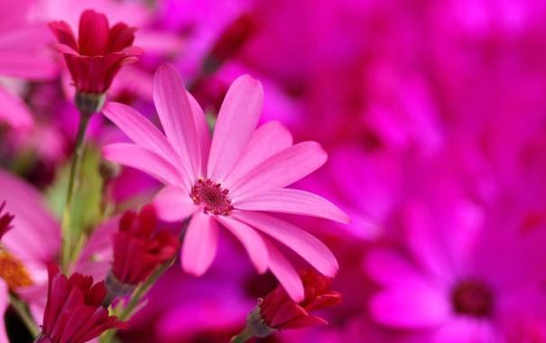Фото обои цветы, яркие, розовые, цинерария, Senecio-Cruentus