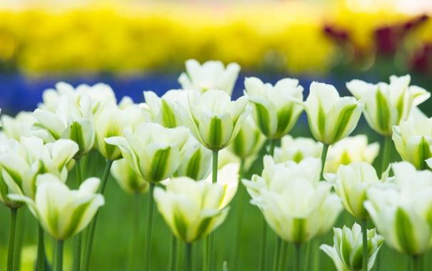 Фото обои тюльпаны, бутоны, белые тюльпаны
