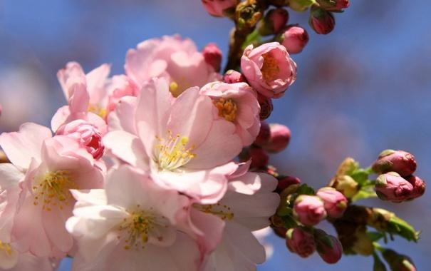Фото обои цветы, ветка, весна, сакура, розовые, бутоны, цветение