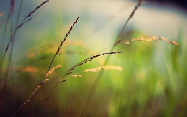 Фото обои зелень, трава, макро, размытость, колосок
