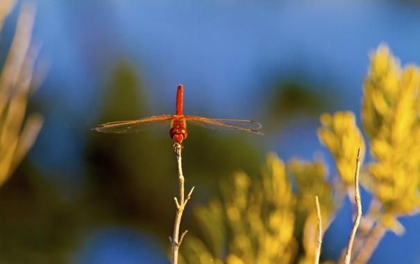 Фото обои небо, растение, крылья, стрекоза, насекомое