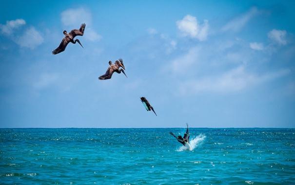 Фото обои море, небо, птицы, рыбалка, ныряние