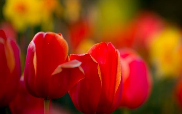 Фото обои макро, краски, весна, сад, луг, тюльпаны