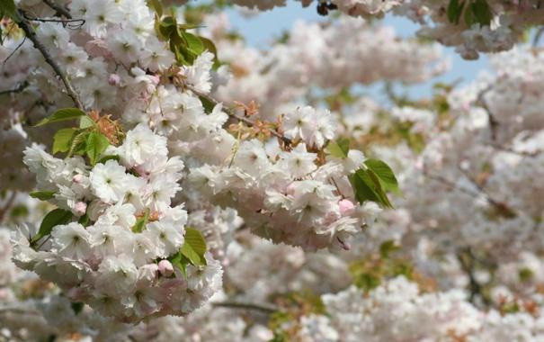 Фото обои деревья, цветы, ветви, весна, лепестки, сакура, белые