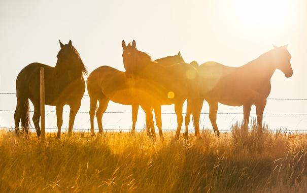 Фото обои свет, природа, кони