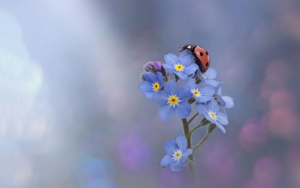 Фото обои цветок, божья коровка, бутоны, flower, ladybug, buds