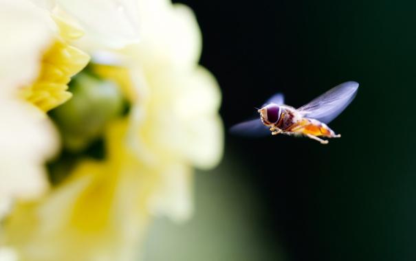 Фото обои цветок, макро, природа, муха, фокус, лепестки, насекомое