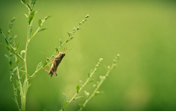 Фото обои лето, трава, природа, кузнечик