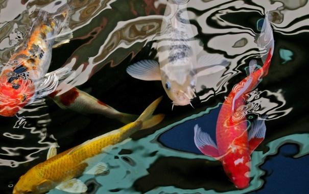 Фото обои природа, fish, carps