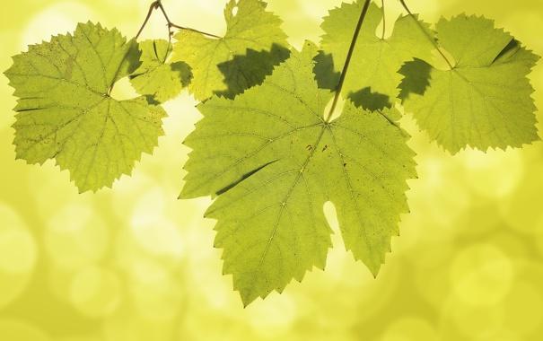 Фото обои листья, виноград, прожилки, боке