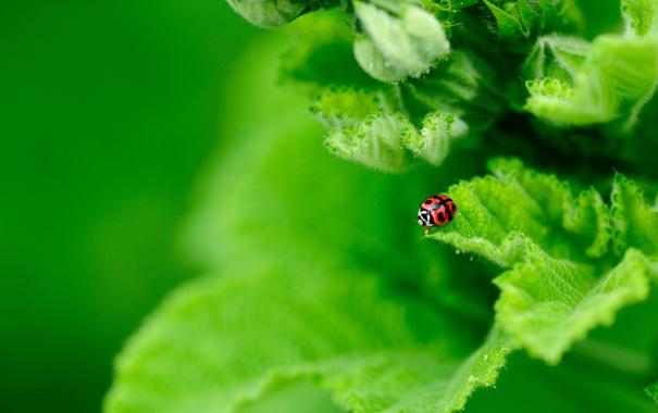 Фото обои зелень, листья, растение, божья коровка, насекомое