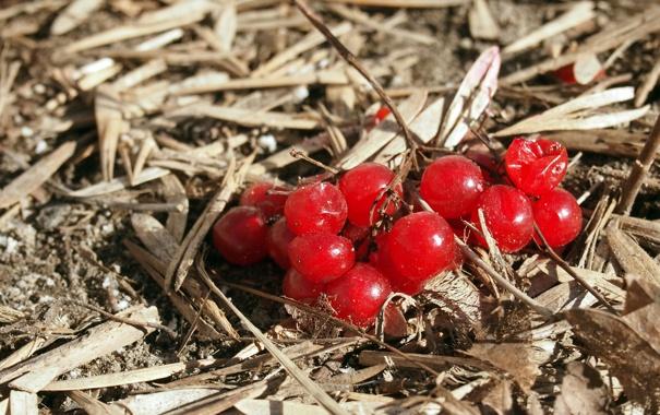 Фото обои крупный план, ягоды, ветвь, рябина