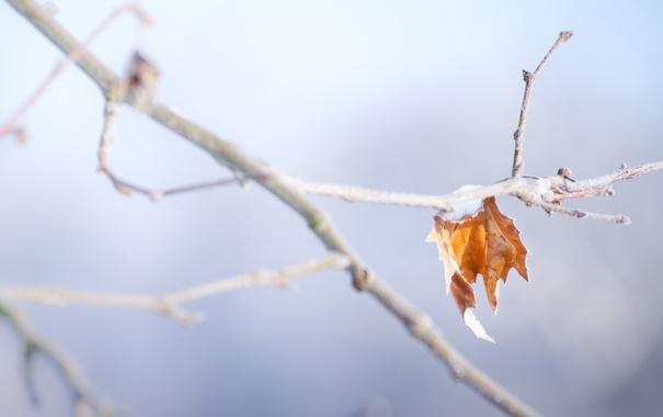 Фото обои снег, лист, ветка