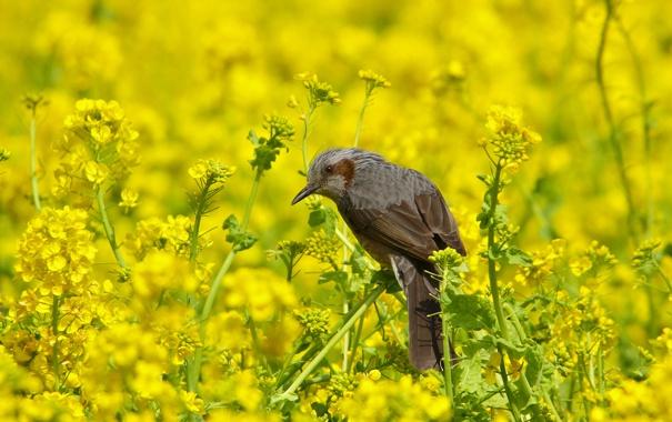 Фото обои лето, природа, птица, цветение, бюль бюль