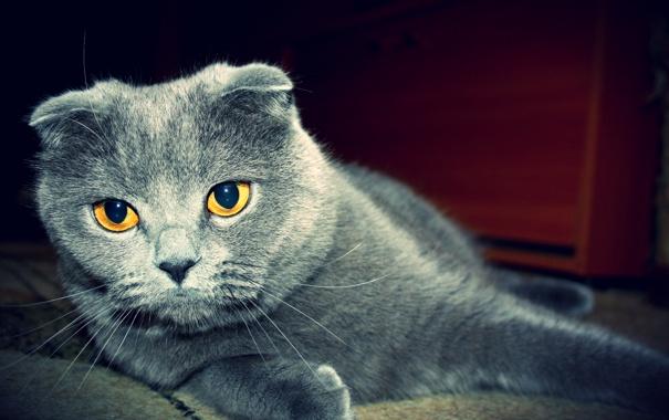 Фото обои кот, вислоухий, котэ, британец