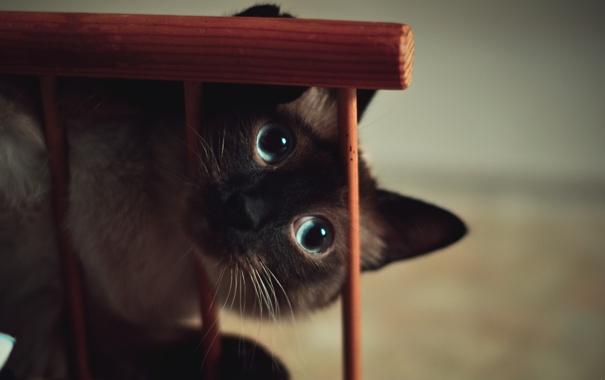 Фото обои глаза, кот, голубые