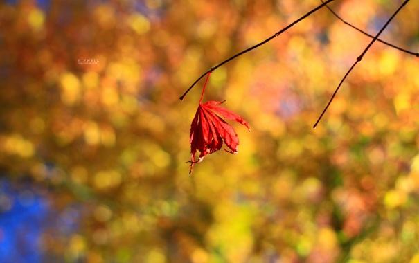 Фото обои красный, лист, фон, осень ветки