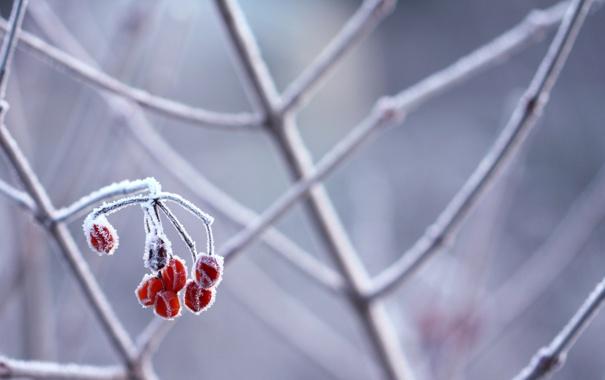 Фото обои ягода, снег, ветки, мороз, иней