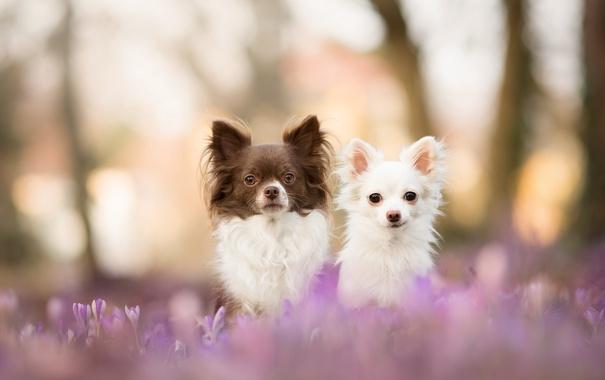 Фото обои собаки, взгляд, природа