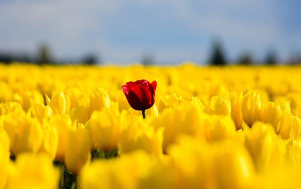Фото обои поле, цветы, весна, желтые, тюльпаны