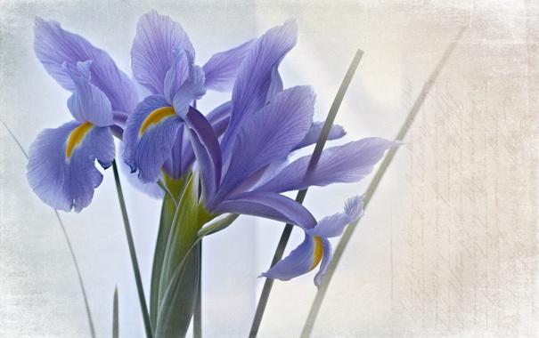 Фото обои цветы, стиль, фон, текстура, ирисы, синие
