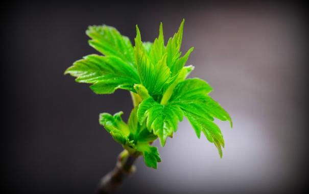 Фото обои листья, макро, ветка, весна